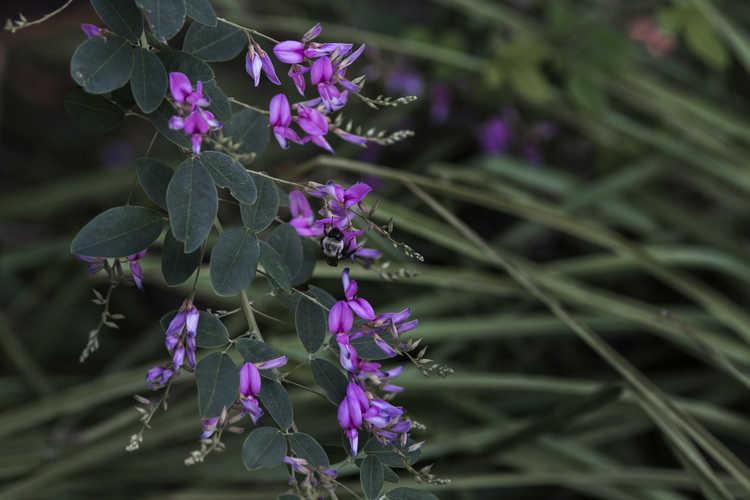 Lespedeza thunbergii 'Spring Grove' (bush-clover)