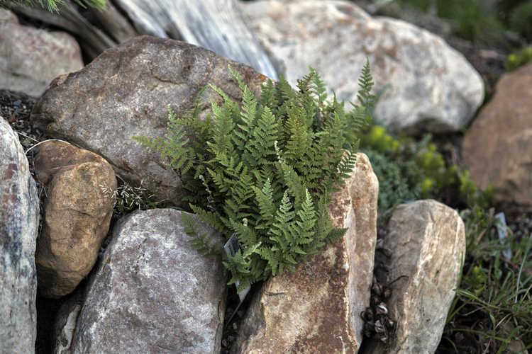 Cheilanthes yavapensis (graceful lip fern)