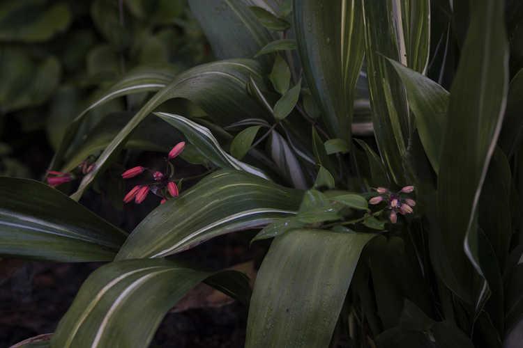 Aspidistra (dwarf streaked) (dwarf variegated cast-iron plant)
