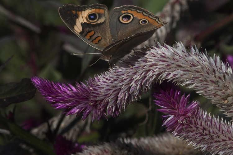 Celosia argentea var. argentea Spicata Group (wheatstraw celosia) - Common Buckeye Butterfly