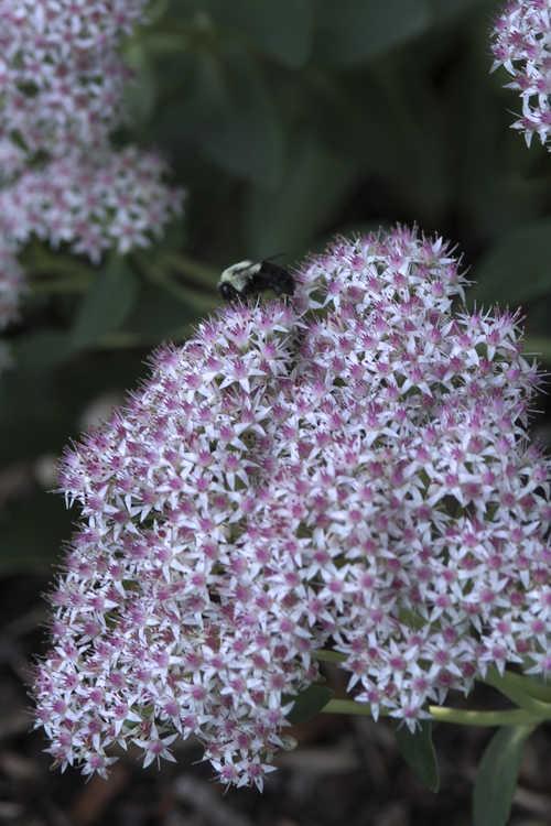 Sedum spectabile 'Zi Juan' (Pink Sundae showy stonecrop)