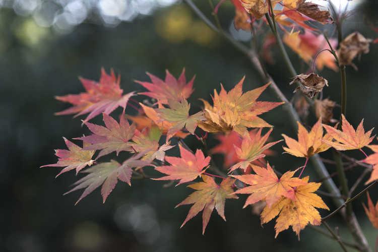 Acer shirasawanum 'Jordan' (golden full moon maple)
