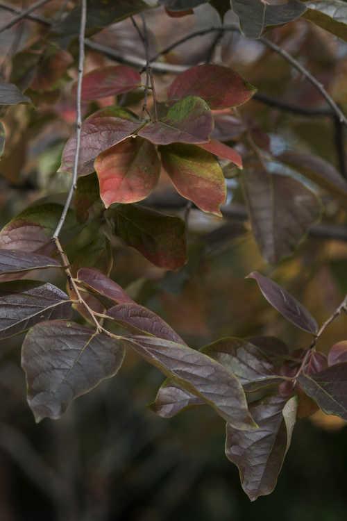 Diospyros kaki 'Gwang Yang' (Japanese persimmon)