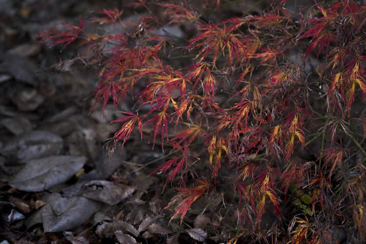 Acer palmatum 'Kiri Nishiki' (Japanese maple)
