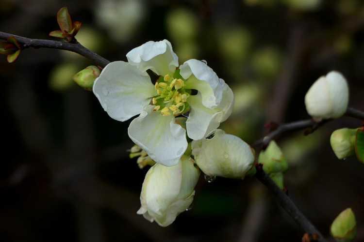 Chaenomeles ×superba 'Jet Trail' (hybrid flowering quince)