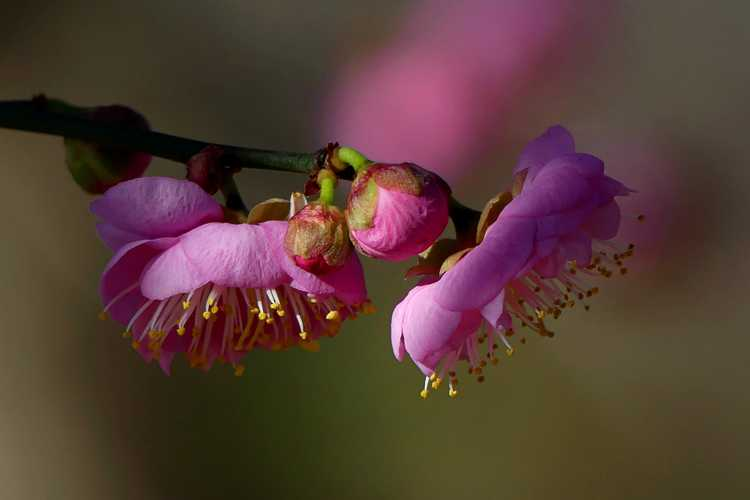 Prunus mume 'Peggy Clarke' (pink Japanese flowering apricot)