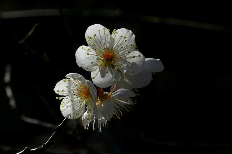 Prunus mume 'Big Joe' (white Japanese flowering apricot)