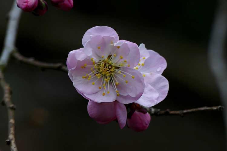 Prunus mume 'Okitsu-akabana' (Japanese flowering apricot)