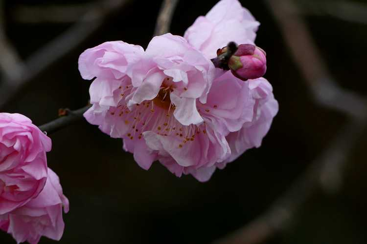 Prunus mume 'Dawn' (Japanese flowering apricot)