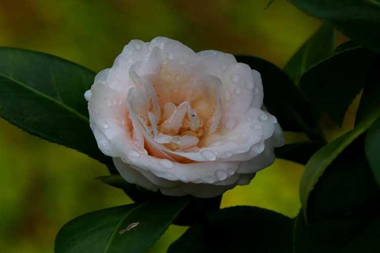 Camellia japonica var. rusticana 'Ai-no-izumi' (snow camellia)