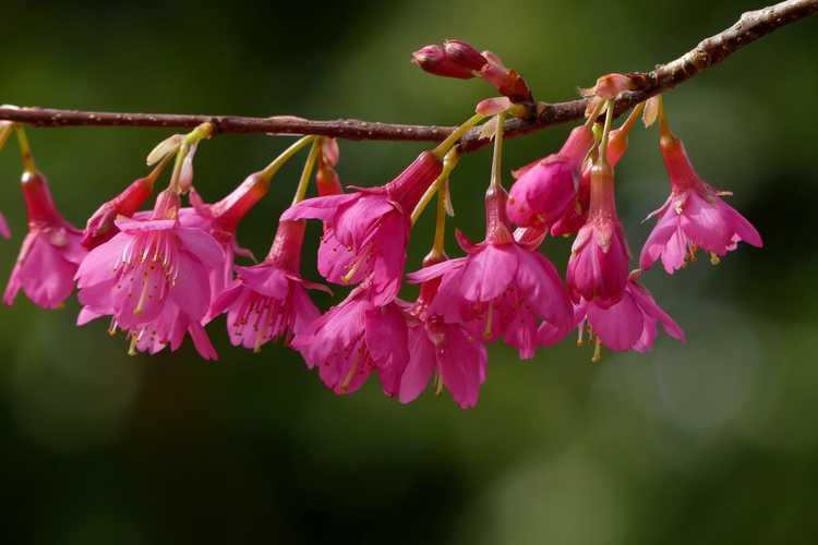 Prunus campanulata (Taiwan cherry)