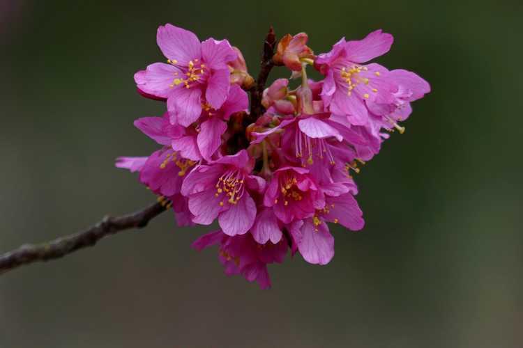 Prunus 'First Lady' (hybrid flowering cherry)