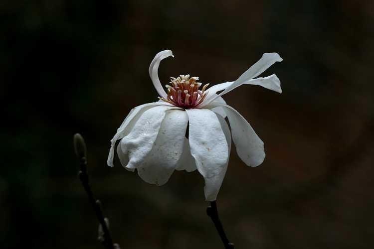 Magnolia 'Green Mist' (hybrid magnolia)
