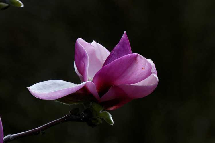 Magnolia ×soulangeana 'Sundew' (saucer magnolia)