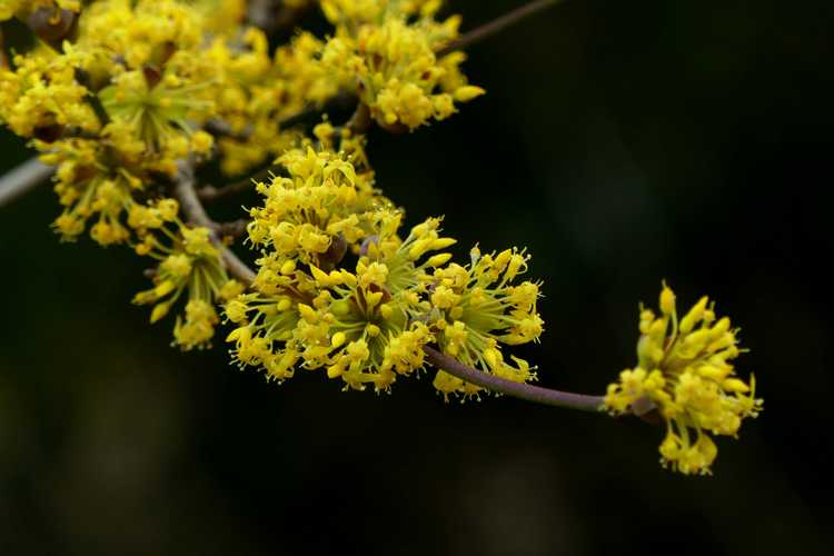 Cornus officinalis 'Spring Glow' (Cornelian cherry)