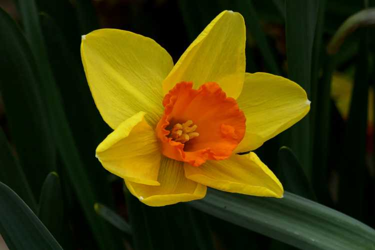 Narcissus 'Monal' (large-cupped daffodil)