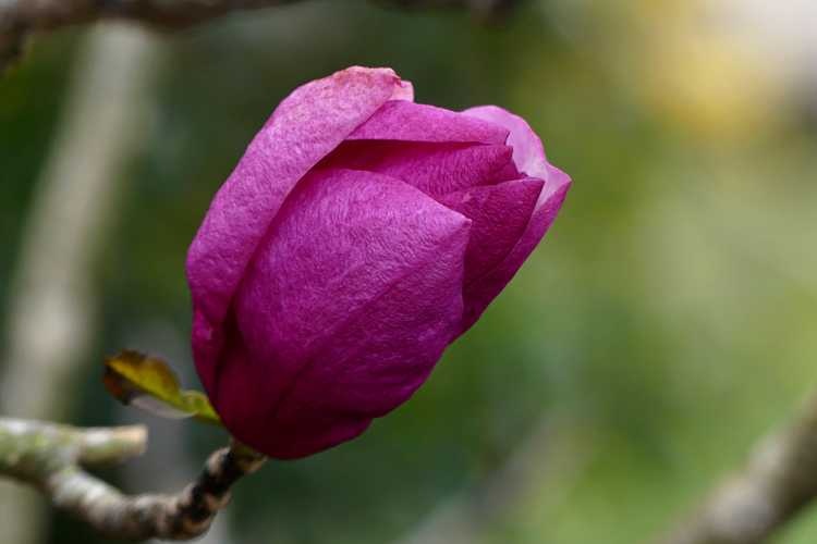 Magnolia 'Pink Delight' (Ledvina hybrid magnolia)