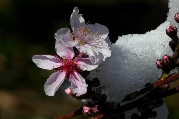 Prunus persica 'Bonfire' (purple-leaf peach)