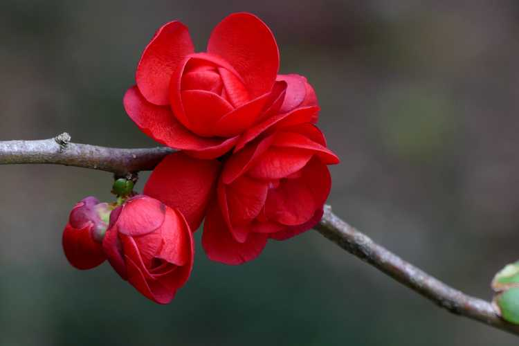 Chaenomeles 'Scarlet Storm' (Double Take) (hybrid flowering quince)