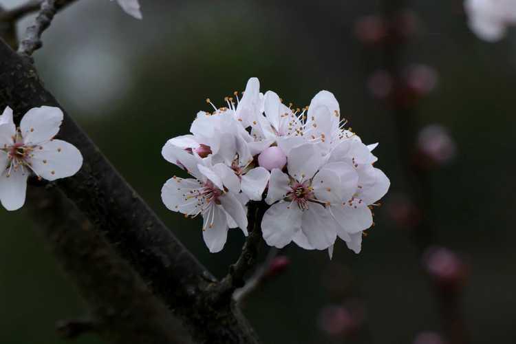 Prunus cerasifera 'Cripoizam' (Crimson Pointe fastigiate purple-leaf plum)
