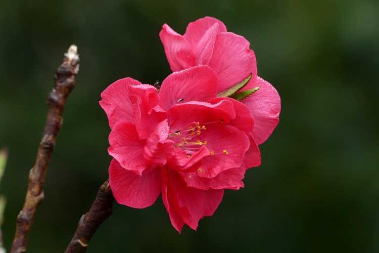 Prunus persica 'NCSU Dwarf Double Red' (dwarf flowering peach)