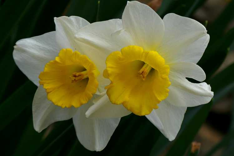 Narcissus 'Merels Favorite'