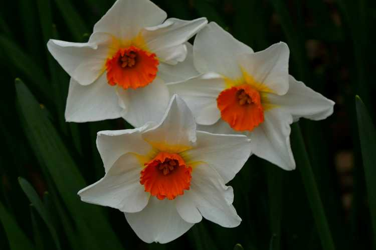 Narcissus 'Redhill' (large-cupped daffodil)