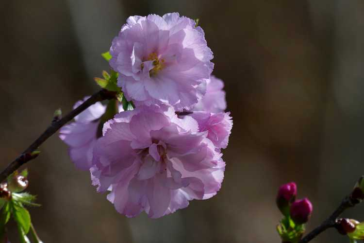 Prunus 'JFS-KW 14' (First Blush flowering cherry)