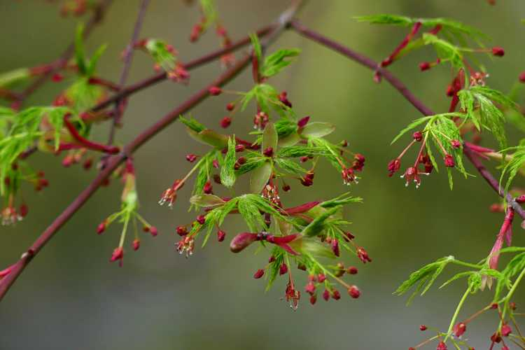 Acer palmatum 'Seiryu' (green dragon Japanese maple)