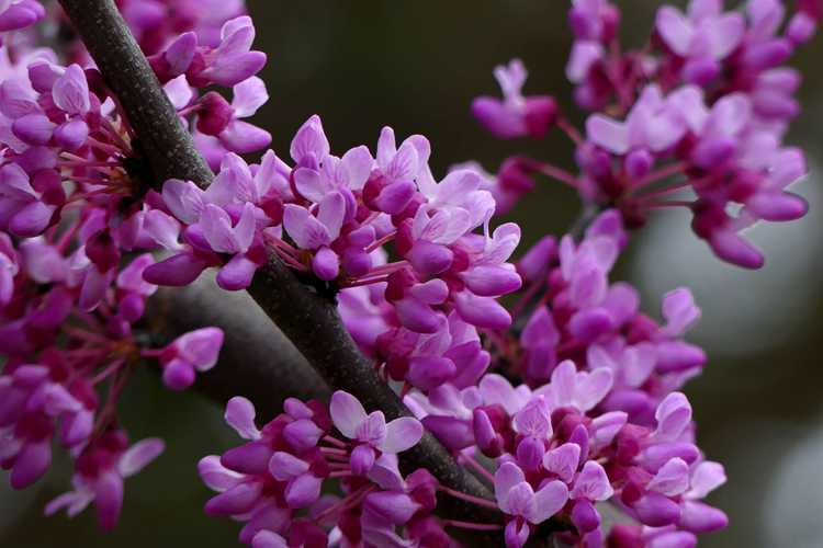 Cercis canadensis 'Jn7' (Summer's Tower upright redbud)