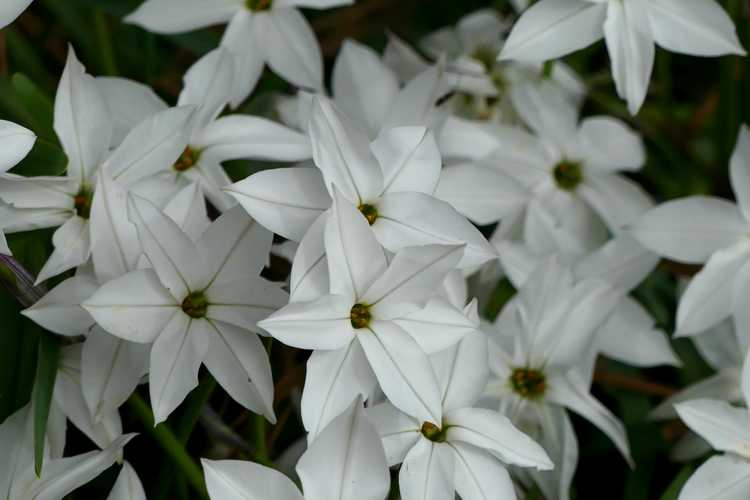 Ipheion 'Alberto Castillo' (star flower)