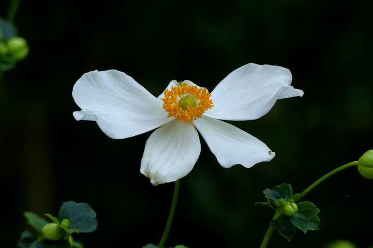 Anemone hupehensis 'Pretty Lady Maria' (windflower)