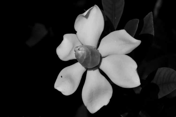 Gardenia jasminoides 'Leeone' (Jubilation Cape jessamine)