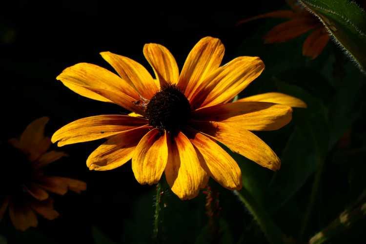 Rudbeckia hirta 'Minibeckia Flame' (black-eyed Susan)