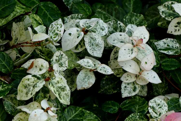 Trachelospermum asiaticum 'Hatsuyuki' (variegated Asiatic jessamine)