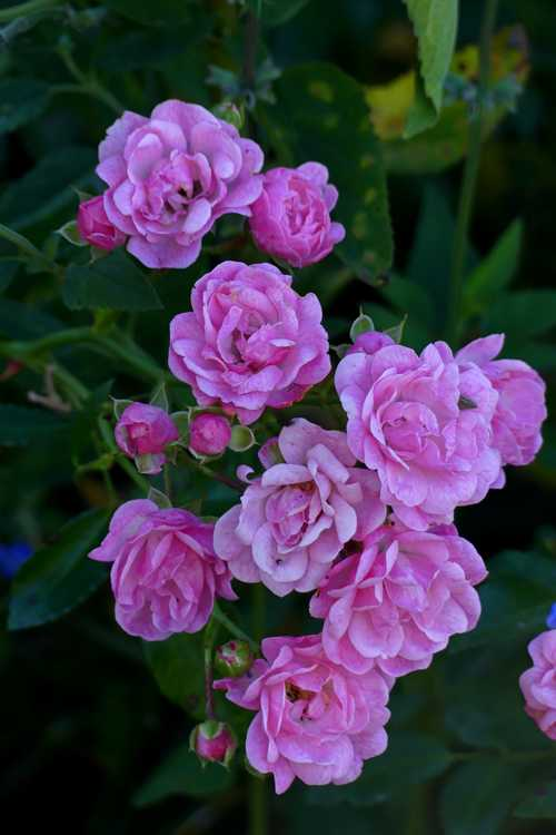 Rosa 'The Fairy' (polyantha rose)