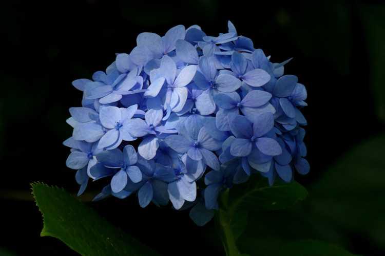 Hydrangea macrophylla 'David Ramsey' (bigleaf hydrangea)