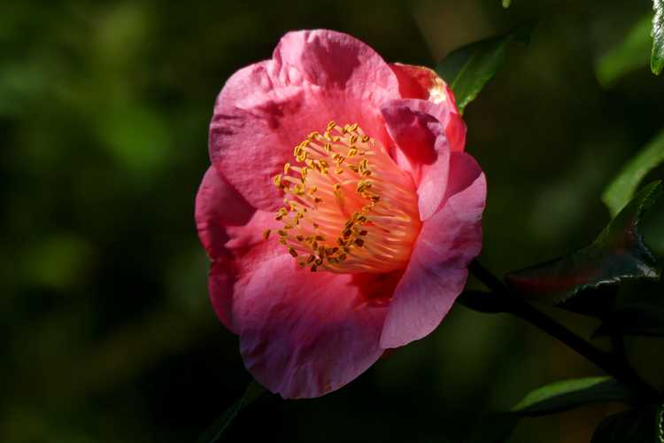 Camellia japonica 'Ta Fuku Benten' (variegated Japanese camellia)