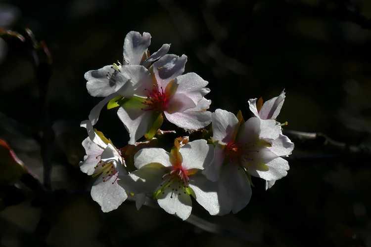 Prunus incisa (Fuji cherry)