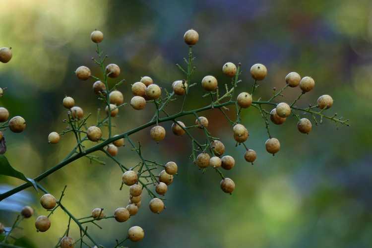 Nandina domestica 'Aurea' (yellow-berry heavenly bamboo)