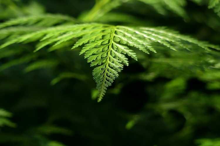 Onychium japonicum 'Sichuan Lace' (carrot fern)