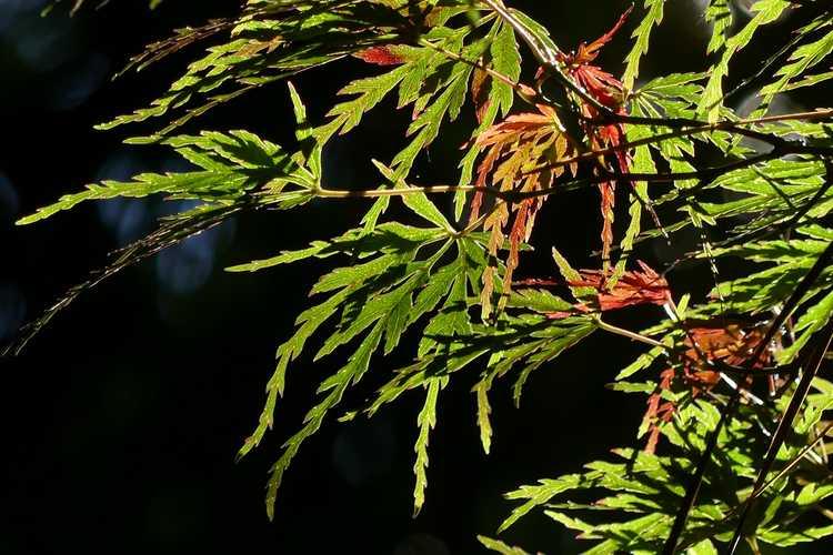 Acer palmatum 'Seiryu' (green dragon Japanese maple)