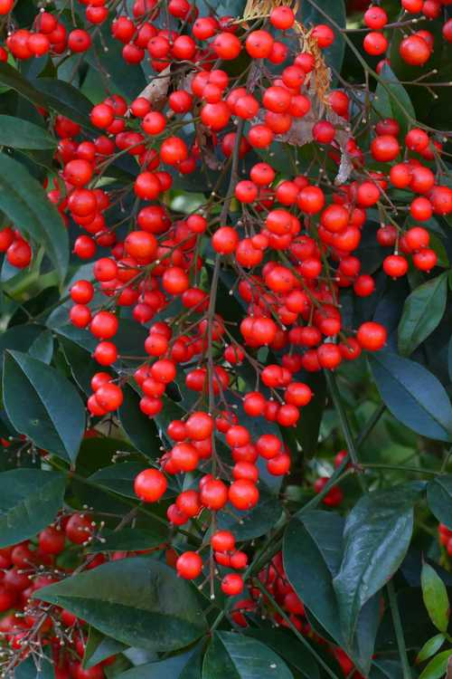 Nandina domestica 'Towne and Country' (heavenly bamboo)