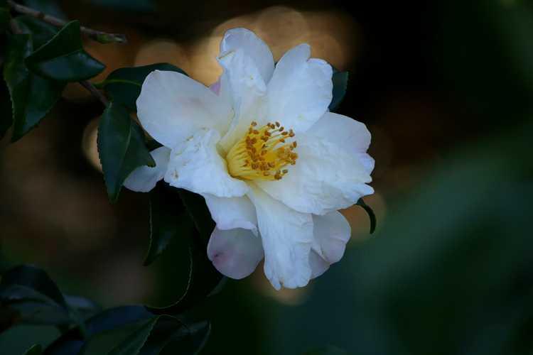 Camellia ×vernalis 'Ginryu' (vernal camellia)