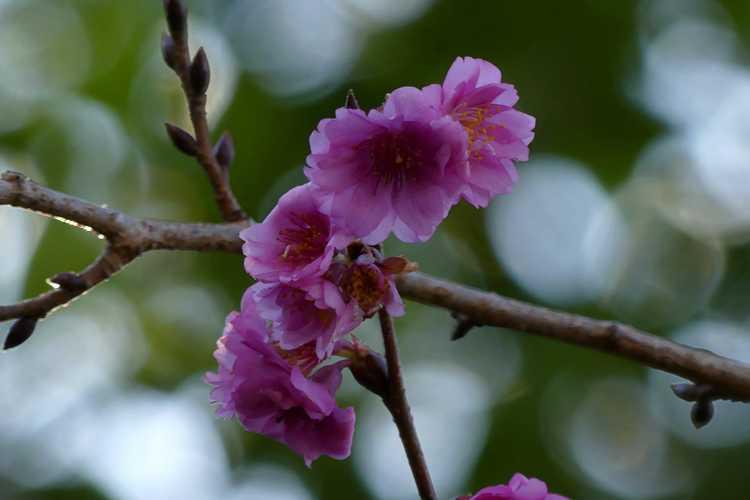 Prunus (NA 63480) (U.S. National Arboretum hybrid flowering cherry)