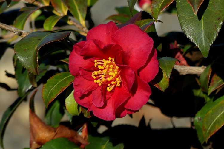 Camellia sasanqua 'Reverend Ida' (sasanqua camellia)