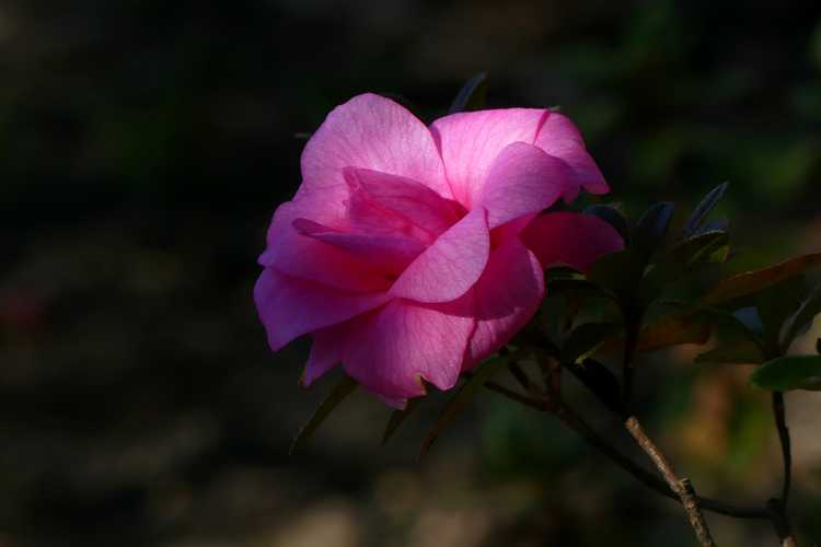 Rhododendron 'Pink Camellia' (Carla hybrid azalea)