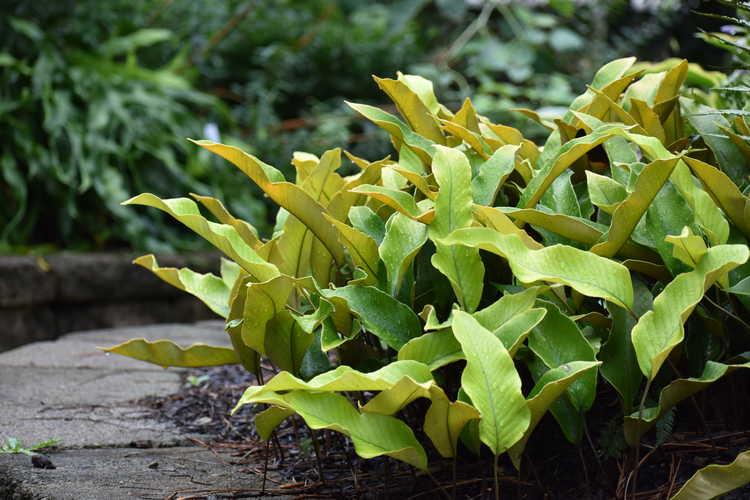 Pyrrosia lingua 'Limon' (tongue fern)