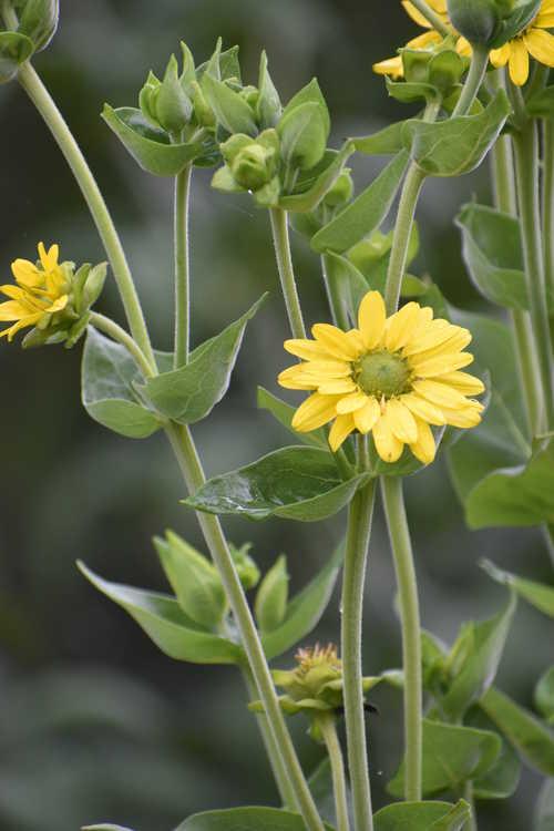 Silphium gracile (slender rosinweed)