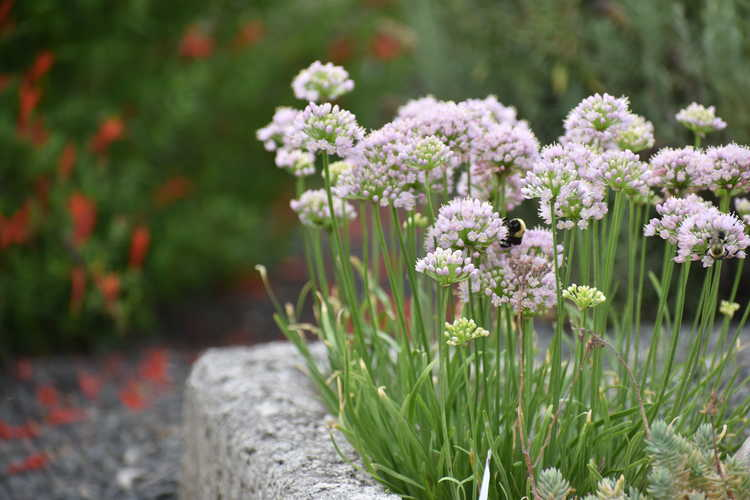 Allium 'Sugar Melt' (ornamental onion)